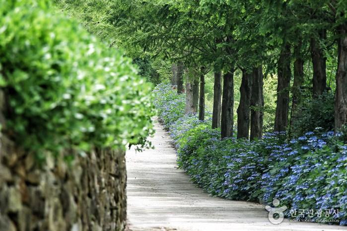 수국 꽃길 따라 우아한 산책, 고성 그레이스정원